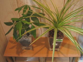 トイレの観葉植物たち