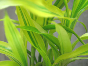 給湯室の観葉植物2